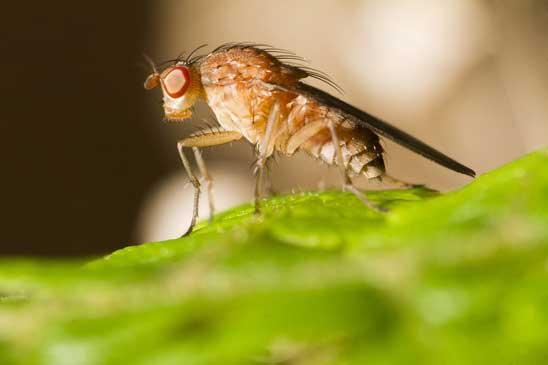 Fruchtfliege